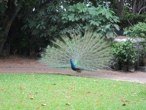 Royal Orchid Sheraton hotel gardens,  peacock